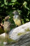 Great Crested Flycatcher Myiarchus Crinitus