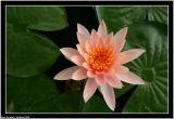 Lotus in Phayao lake