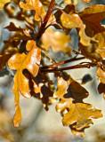 Scrub oak leaves.