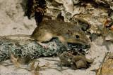 Hispid Pocket MouseChaetodipus hispidus