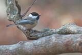 Cincia bigia americana: Poecile atricapillus. En.: Black-capped Chickadee