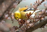 Lucherino americano: Carduelis tristis. En.: American Goldfinch