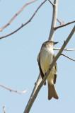 Febo orientale: Sayornis phoebe. En.: eastern Phoebe