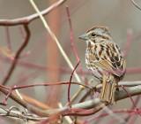 Passero cantore: Melospiza melodia. En.: Song Sparrow