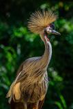 Funky bird (African crane)