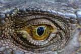 The eye of a green iguana