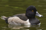 11/7/2012  Ring necked duck
