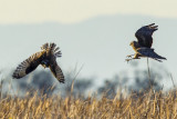 11/23/2012  Owl and Harrier