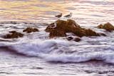 Sunset seagulls by the sea  _MG_1648.jpg