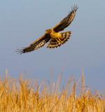 Hawk over marsh  _MG_5535.jpg