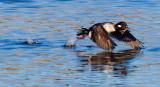 Duck taking off _MG_5766.jpg