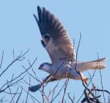 Kite taking off _MG_4774.jpg