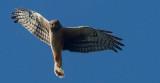 Hawk stare _MG_7486.jpg