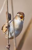Marsh wren singing  _MG_7243.jpg