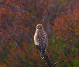 Watchful hawk _MG_8156.jpg
