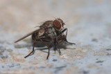 A fly preying on a cotton seed bug