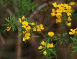 What's this – Pultenaea?