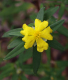 Hibbertia saligna