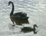 Black swan, black duck