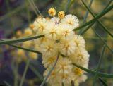 Acacia elongata