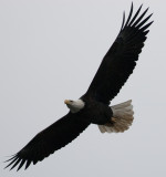 BALD EAGLE CONOWINGO 2012