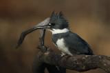 Belted Kingfisher IMG_7904_2.jpg