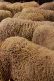 Troupeau de laine