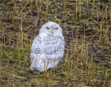 Seasons first snowy owl, West of Spokane