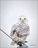 Snowy Owl, West of Spokane