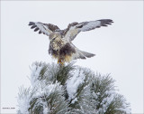 Rough Legged Hawk in Tree