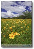 The Dragoon Mountains/Northern AZ : Poppy and Brown Eyed Susan