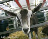A friendly goat