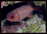 Soldierfish, but not much of a soldier