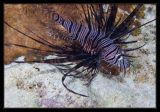Juvenile Lionfish, these guys always have their head in the corner, should be the time-out fish