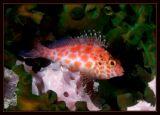 Pixy hawkfish, Cirrhitichthys oxycephalus