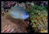 damselfish