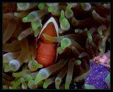 Same Tomato Anemonefish w/ Green Anemone