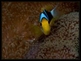 Orange-Finned Anemonefish, Amphiprion chrysopterus
