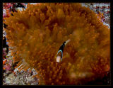 Unusual anemone w/anemonefish