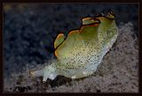 Ornate Elysia Sea Slug