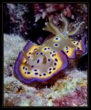 flamboyant colors of a Chromodoris kuniei--Nudibranch