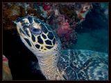 Hawksbill turtle, Eretomochelys imbricata