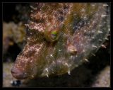 Filefish @ Sam's muck dive