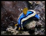 Chromodoris annae-nudibranch
