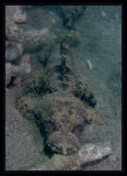 Crocodile Flathead, Cymbacephalus Beauforti