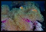Anemonefish and a dab of Purple