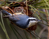 chickadees_and_nuthatches