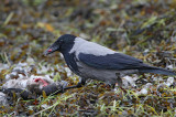 Hooded Crow, eating on a dead duck