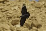 Fan-tailed Raven.