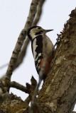 Syrian Woodpecker.